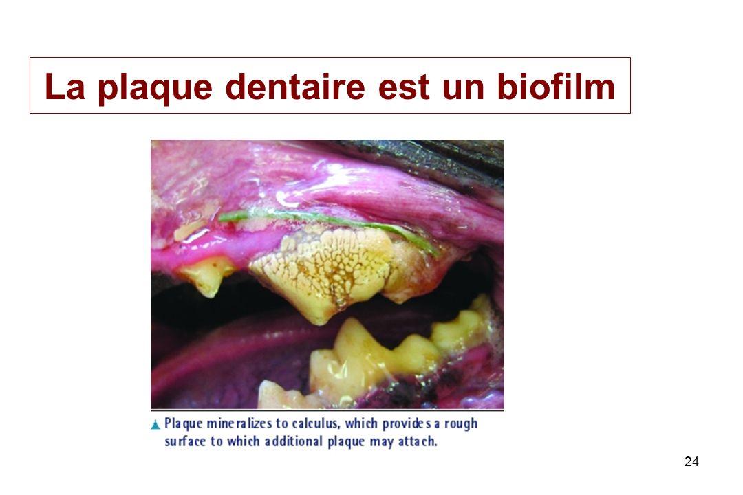 PL Toutain Ecole Vétérinaire Toulouse24 La plaque dentaire est un biofilm
