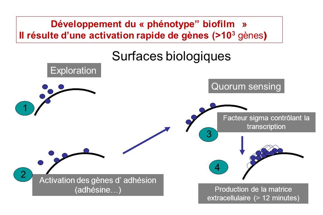PL Toutain Ecole Vétérinaire Toulouse7 Biofilms et « le quorum sensing » Certains biofilms possèdent des canaux aqueux Ils assurent la distribution des nutriments et de celle de molécules de signalisation, établissant la communication entre cellules par des signaux biochimiques.