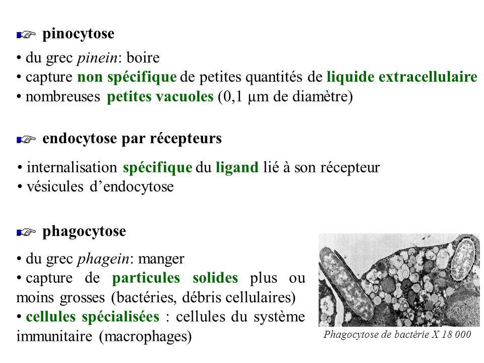 2. Échanges avec mouvements de membrane mouvements au niveau cellulaires et non plus moléculaires lendocytose et lexocytose nécessitent de lénergie a.