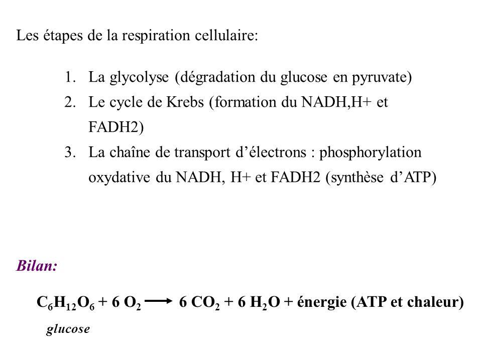 B. La respiration respiration cellulaire : dégradation de molécules combustibles consommant de lO 2 et produisant du CO 2 et de lH 2 O conséquence : p