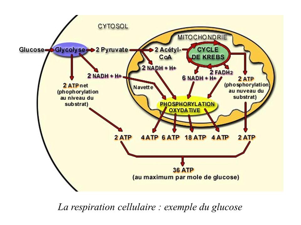 Les étapes de la respiration cellulaire: 1.La glycolyse (dégradation du glucose en pyruvate) 2.Le cycle de Krebs (formation du NADH,H+ et FADH2) 3.La