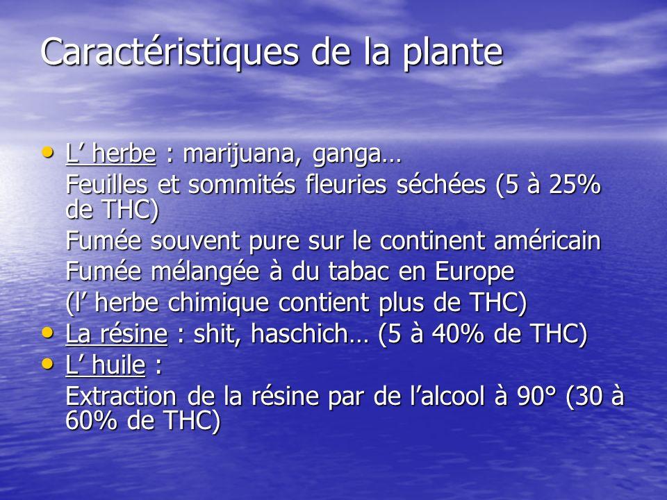 Caractéristiques de la plante L herbe : marijuana, ganga… L herbe : marijuana, ganga… Feuilles et sommités fleuries séchées (5 à 25% de THC) Fumée sou