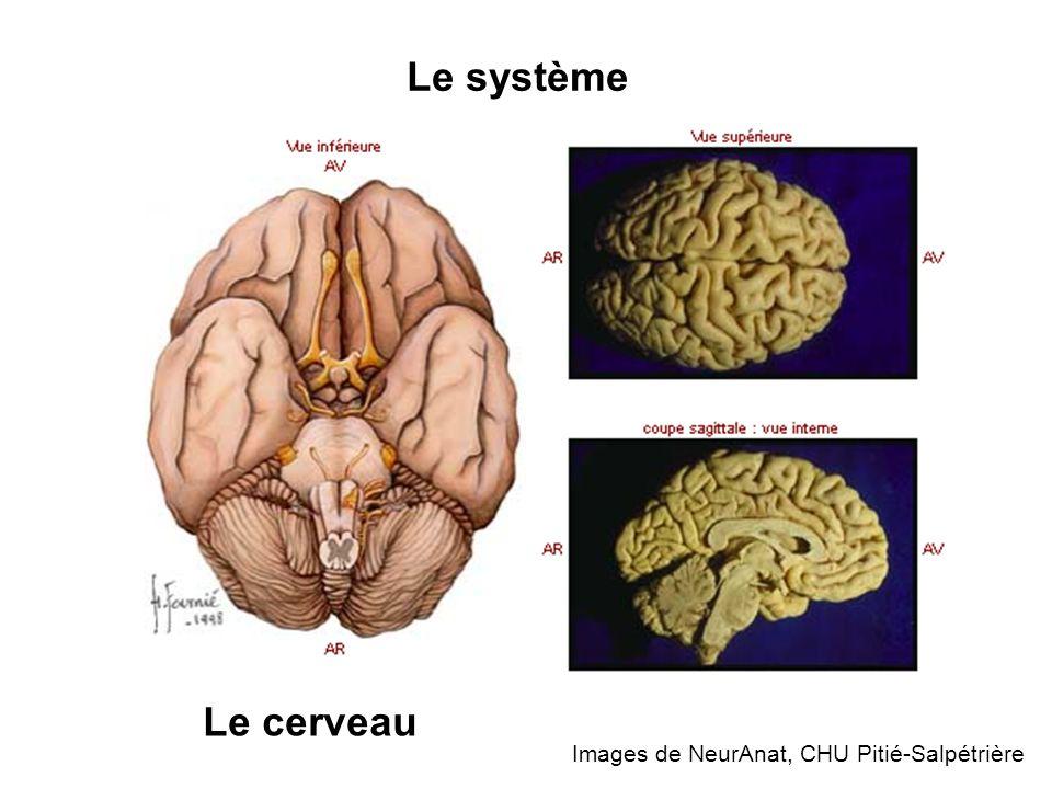 Images de NeurAnat, CHU Pitié-Salpétrière Le système Le cerveau