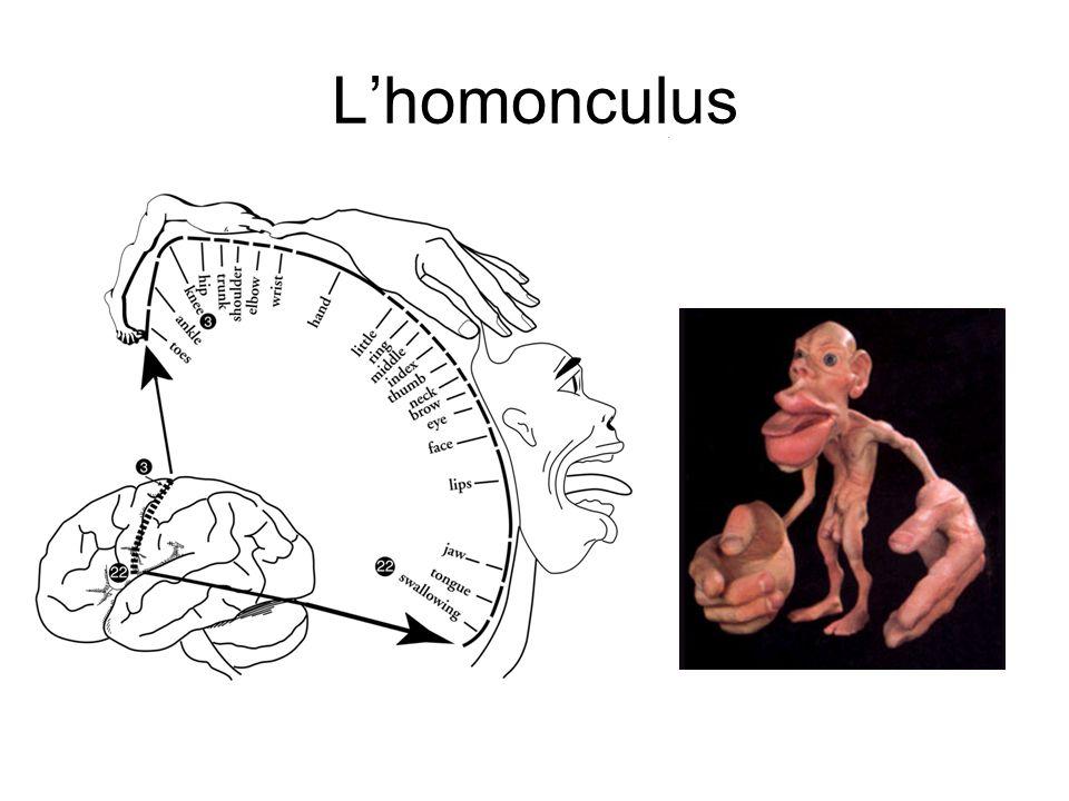 Lhomonculus