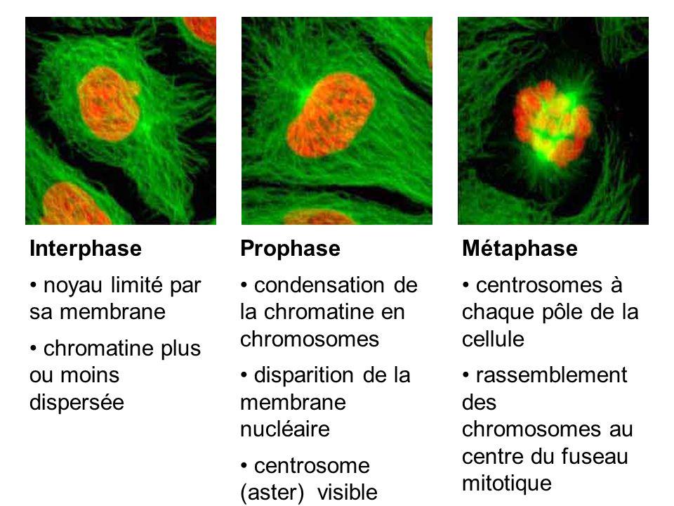 Interphase noyau limité par sa membrane chromatine plus ou moins dispersée Prophase condensation de la chromatine en chromosomes disparition de la mem