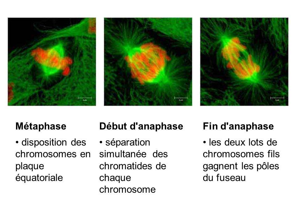 Métaphase disposition des chromosomes en plaque équatoriale Début d'anaphase séparation simultanée des chromatides de chaque chromosome Fin d'anaphase