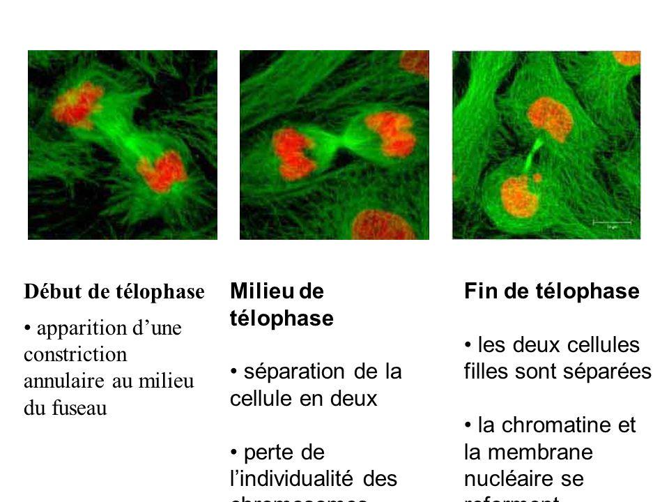 Début de télophase apparition dune constriction annulaire au milieu du fuseau Milieu de télophase séparation de la cellule en deux perte de lindividua
