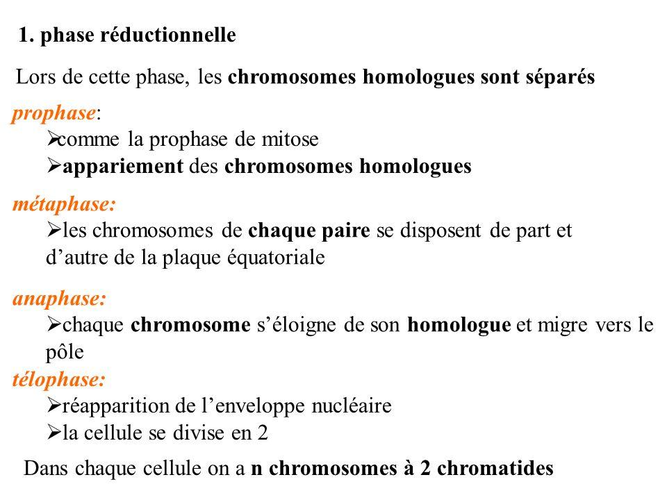 1. phase réductionnelle Lors de cette phase, les chromosomes homologues sont séparés prophase: comme la prophase de mitose appariement des chromosomes
