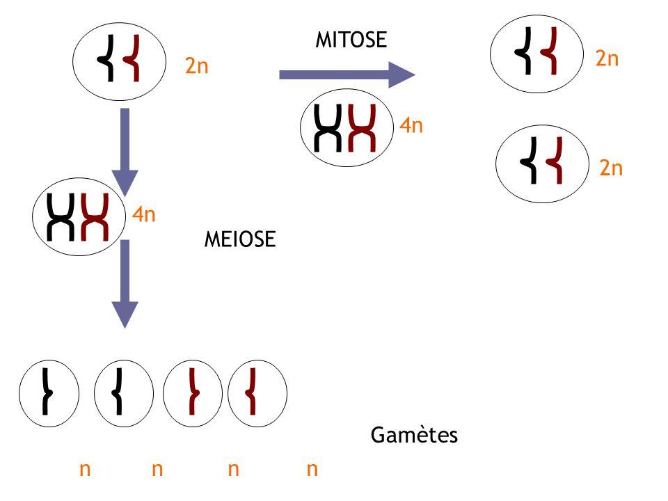 2n nnnn MITOSE MEIOSE Gamètes 4n