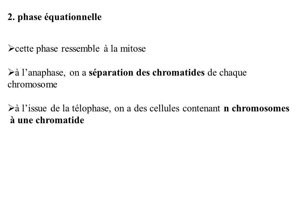 2. phase équationnelle cette phase ressemble à la mitose à lanaphase, on a séparation des chromatides de chaque chromosome à lissue de la télophase, o