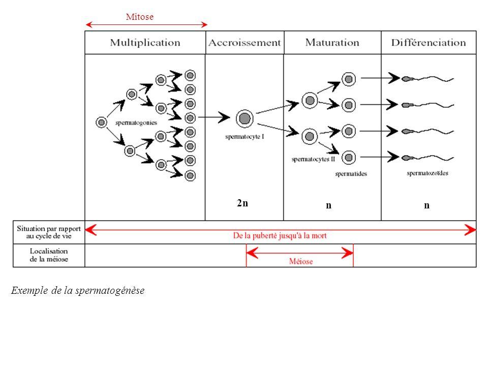 Exemple de la spermatogénèse 2n nn Mitose