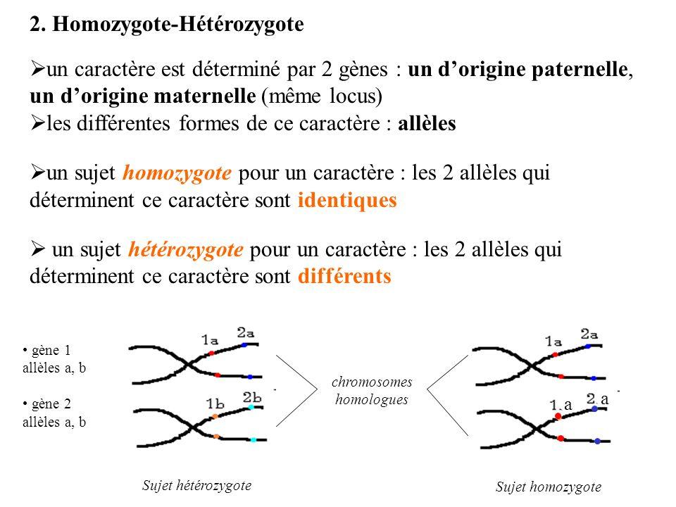 2. Homozygote-Hétérozygote un caractère est déterminé par 2 gènes : un dorigine paternelle, un dorigine maternelle (même locus) les différentes formes