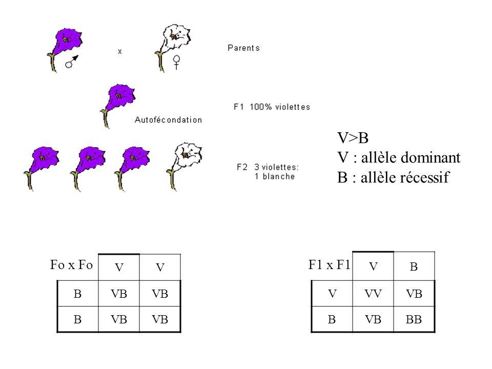 V>B V : allèle dominant B : allèle récessif VV BVB B Fo x Fo VB VVVVB B BB F1 x F1