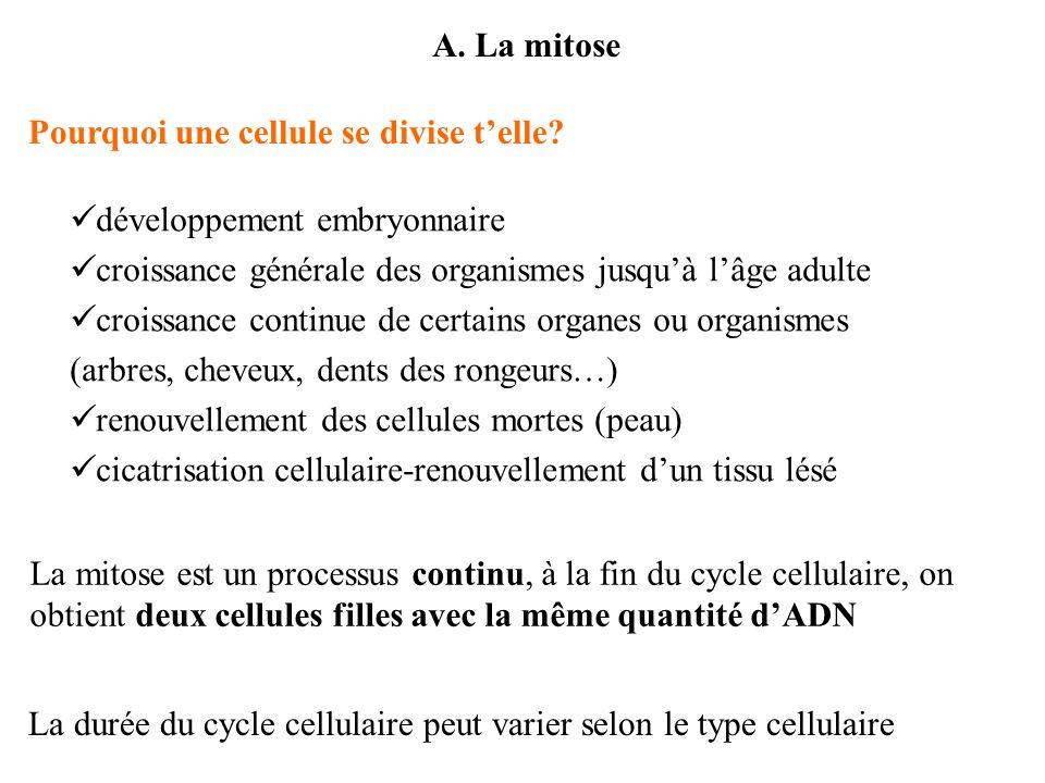 A. La mitose Pourquoi une cellule se divise telle? La mitose est un processus continu, à la fin du cycle cellulaire, on obtient deux cellules filles a