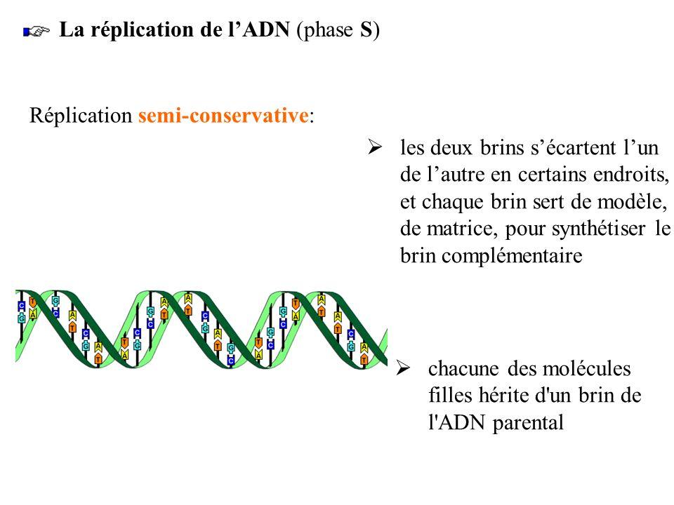 La réplication de lADN (phase S) Réplication semi-conservative: chacune des molécules filles hérite d'un brin de l'ADN parental les deux brins sécarte