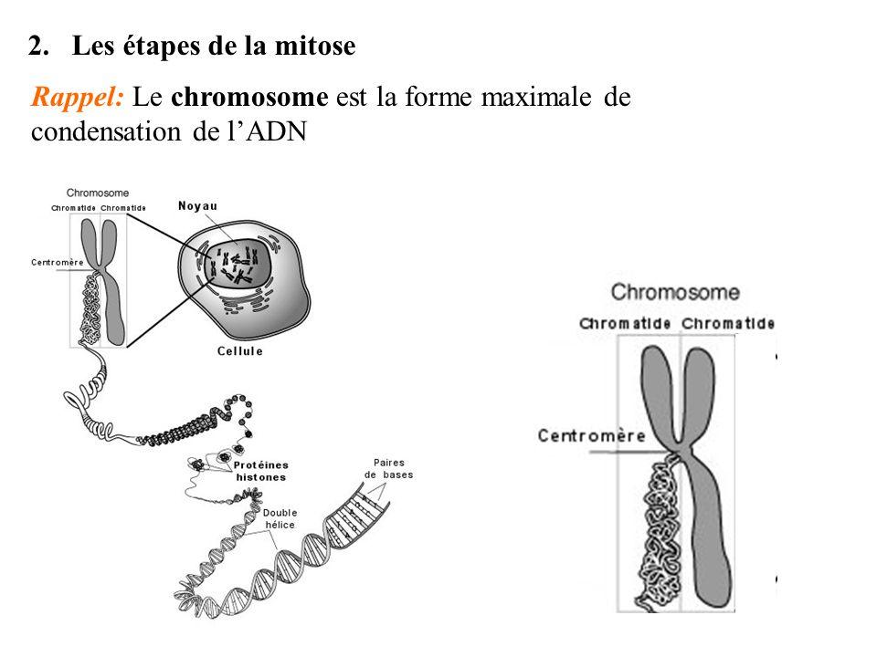 2.Les étapes de la mitose Rappel: Le chromosome est la forme maximale de condensation de lADN