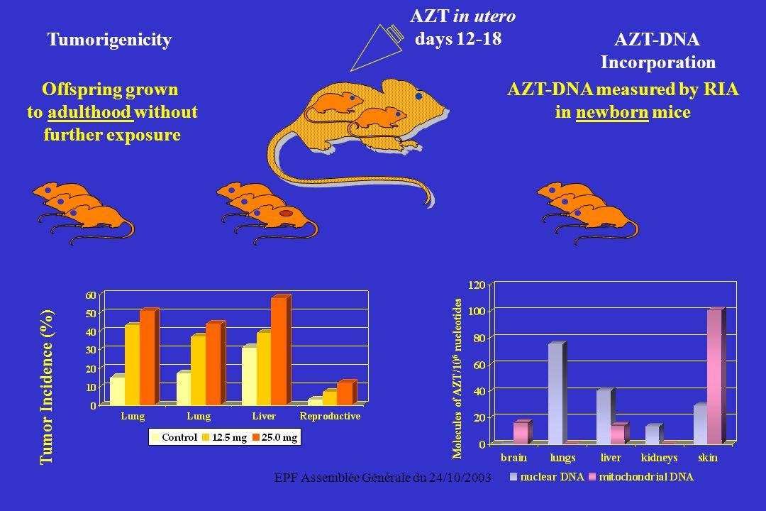 EPF Assemblée Générale du 24/10/2003 Molecules of AZT/10 6 nucleotides Tumor Incidence (%) Tumorigenicity AZT-DNA Incorporation AZT-DNA measured by RI