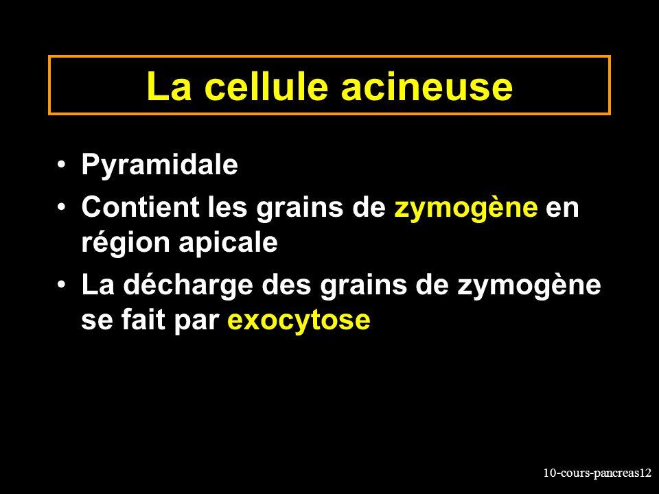 10-cours-pancreas12 La cellule acineuse Pyramidale Contient les grains de zymogène en région apicale La décharge des grains de zymogène se fait par ex