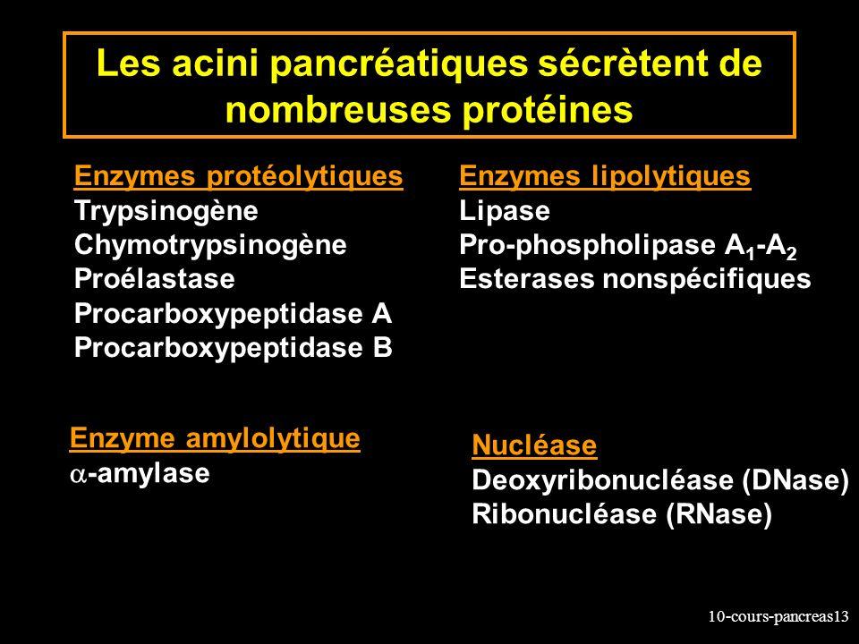 10-cours-pancreas13 Les acini pancréatiques sécrètent de nombreuses protéines Enzymes protéolytiques Trypsinogène Chymotrypsinogène Proélastase Procar