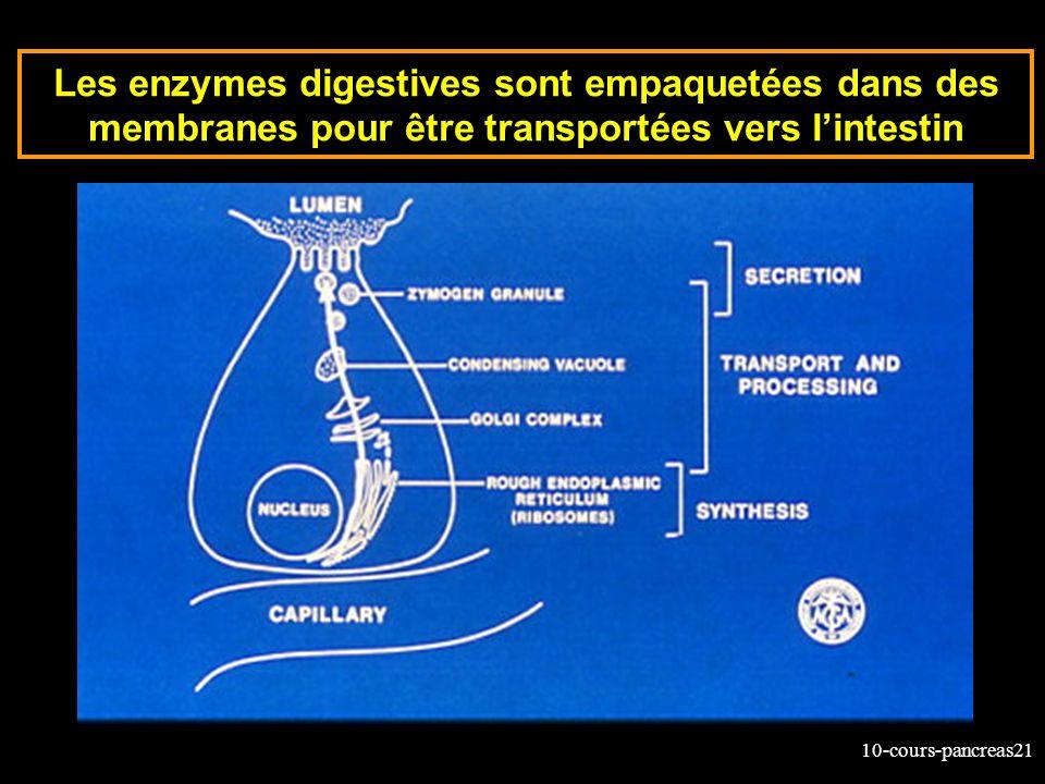 10-cours-pancreas21 Les enzymes digestives sont empaquetées dans des membranes pour être transportées vers lintestin