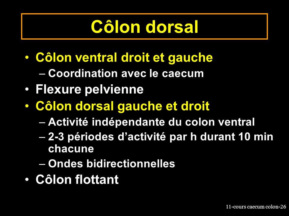 11-cours caecum colon-26 Côlon dorsal Côlon ventral droit et gauche –Coordination avec le caecum Flexure pelvienne Côlon dorsal gauche et droit –Activ
