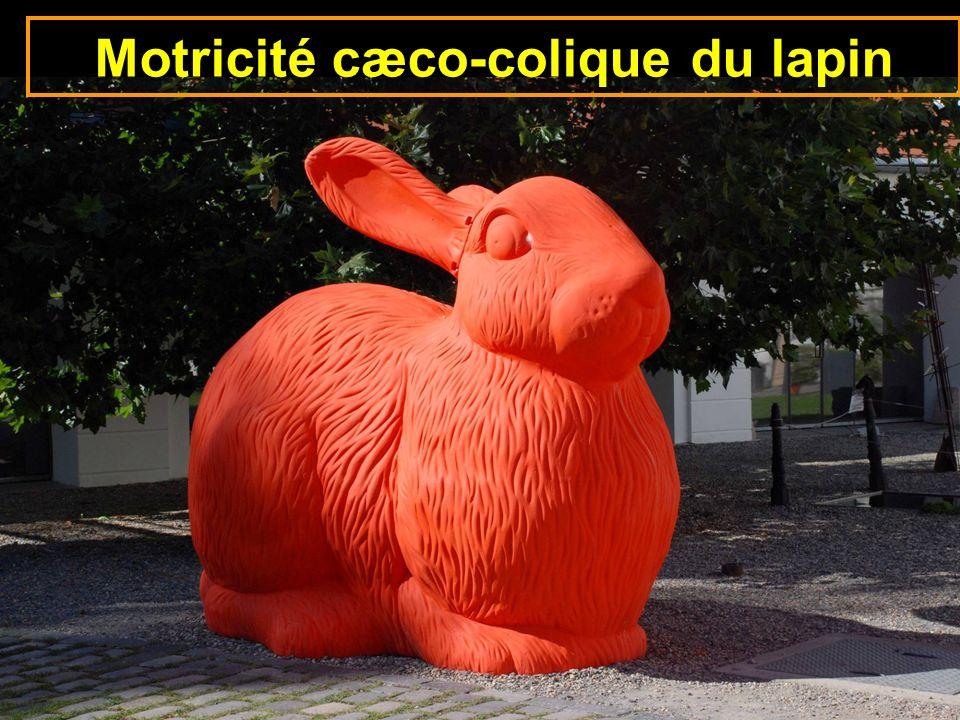 11-cours caecum colon-28 Motricité cæco-colique du lapin
