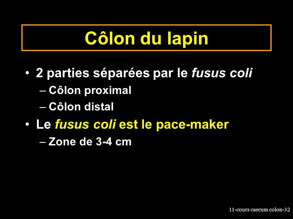 11-cours caecum colon-32 Côlon du lapin 2 parties séparées par le fusus coli –Côlon proximal –Côlon distal Le fusus coli est le pace-maker –Zone de 3-
