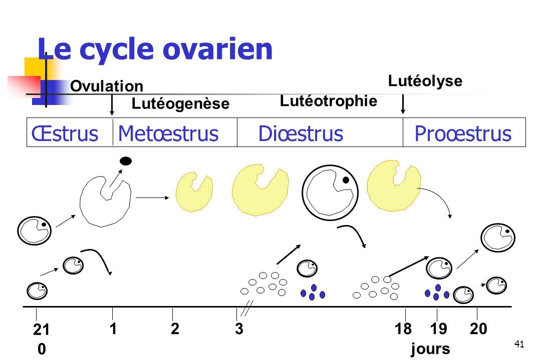41 Œstrus Metœstrus Diœstrus Proœstrus Ovulation Lutéogenèse Lutéotrophie Lutéolyse 21 0 121819203 jours Le cycle ovarien