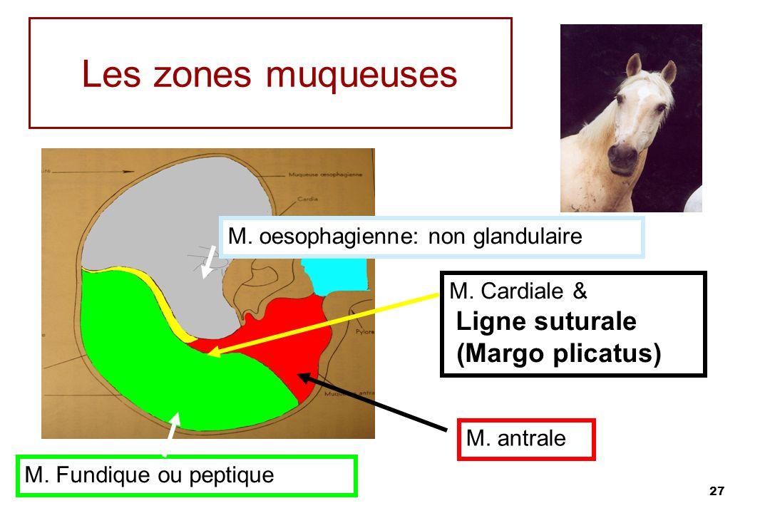 27 Les zones muqueuses M. oesophagienne: non glandulaire M. Cardiale & Ligne suturale (Margo plicatus) M. antrale M. Fundique ou peptique