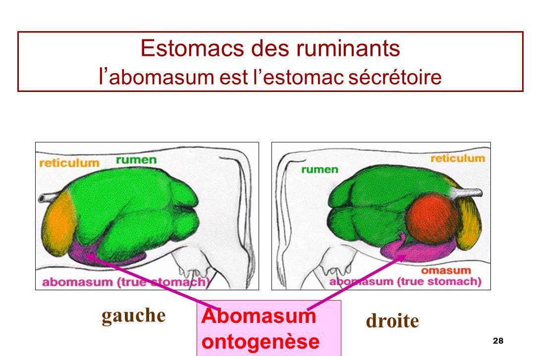 28 Estomacs des ruminants l abomasum est lestomac sécrétoire gauche droite Abomasum ontogenèse