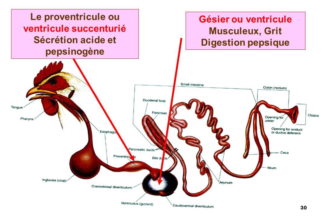 30 Le proventricule ou ventricule succenturié Sécrétion acide et pepsinogène Gésier ou ventricule Musculeux, Grit Digestion pepsique