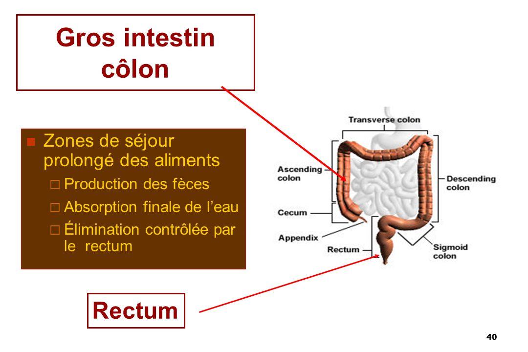 40 Gros intestin côlon Zones de séjour prolongé des aliments Production des fèces Absorption finale de leau Élimination contrôlée par le rectum Rectum