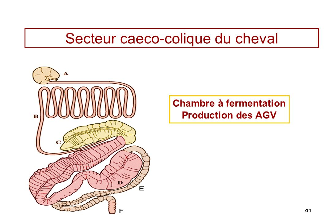 41 Secteur caeco-colique du cheval Chambre à fermentation Production des AGV