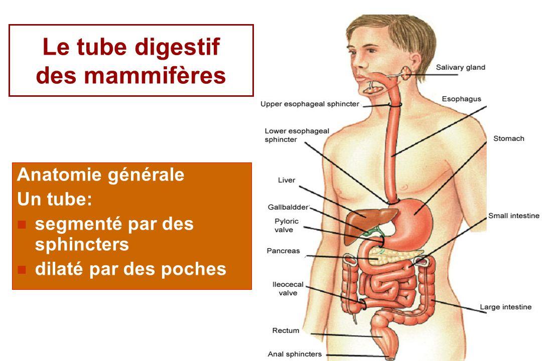 5 Le tube digestif des mammifères Anatomie générale Un tube: segmenté par des sphincters dilaté par des poches
