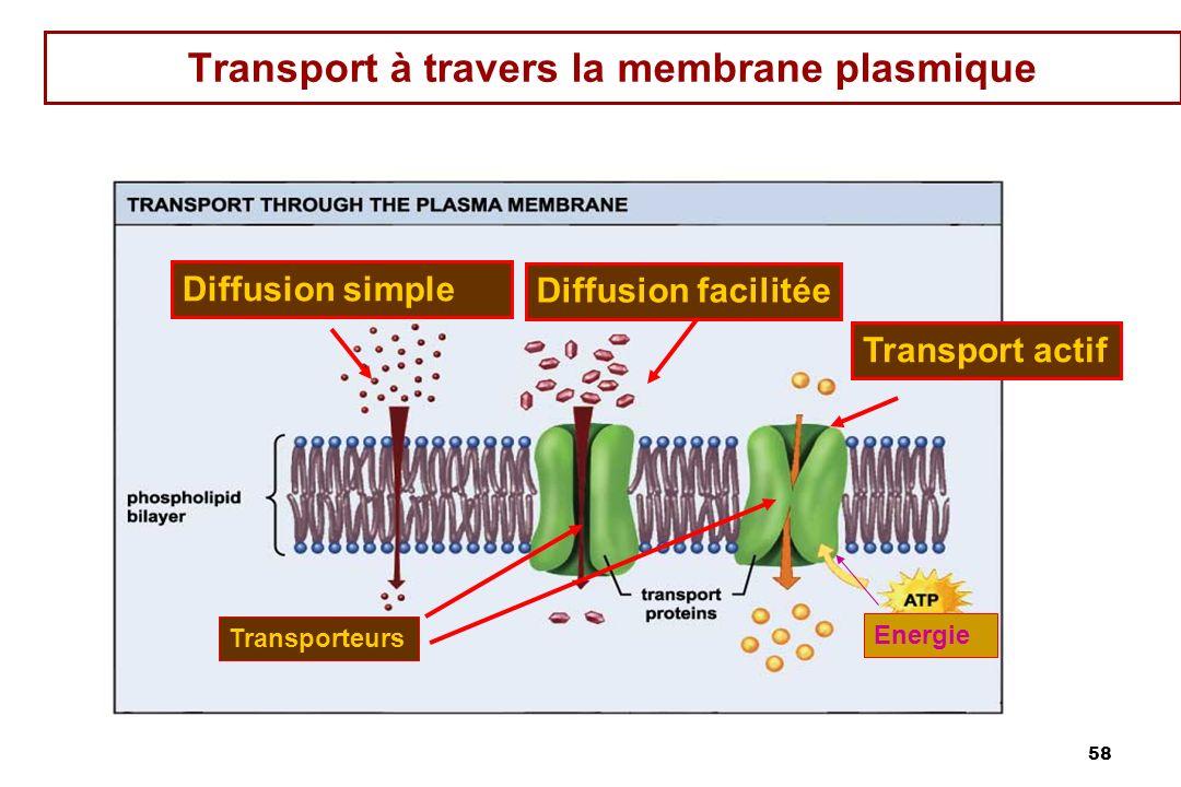 58 Transport à travers la membrane plasmique Transporteurs Energie Diffusion facilitée Diffusion simple Transport actif