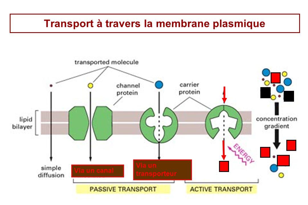 59 Transport à travers la membrane plasmique Via un canal Via un transporteur
