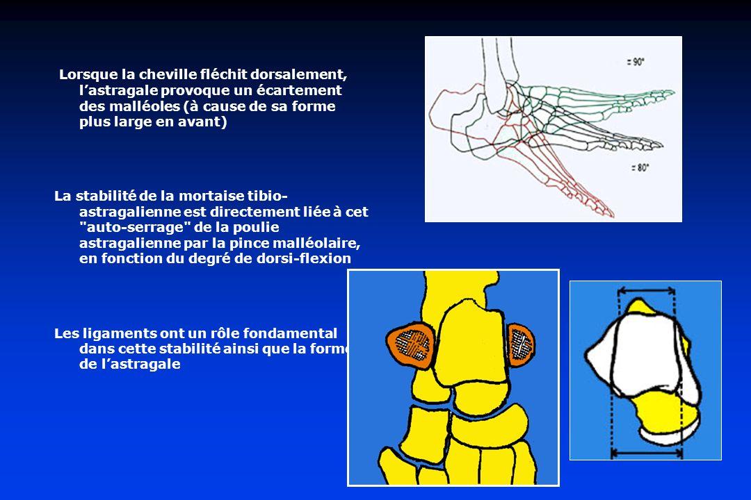 Lorsque la cheville fléchit dorsalement, lastragale provoque un écartement des malléoles (à cause de sa forme plus large en avant) La stabilité de la