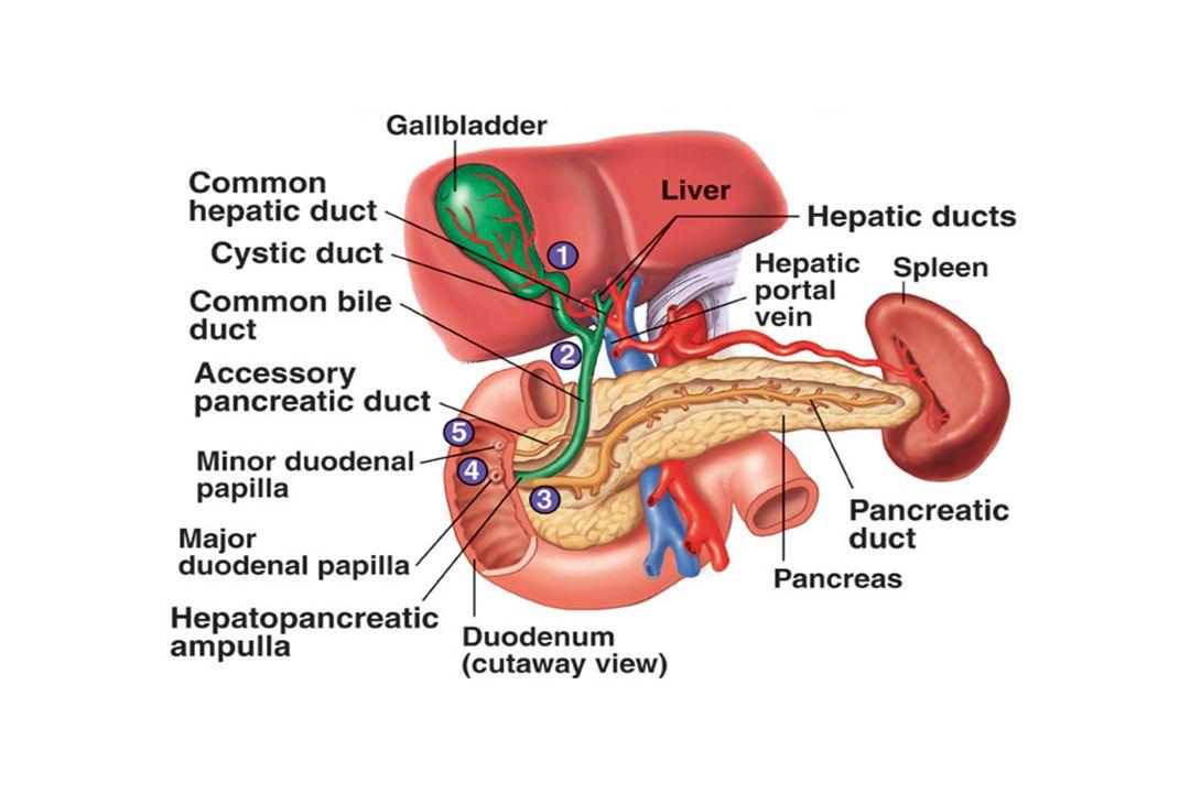 Forme de poire 7-10 cm de long - : 3cm, 20-30ml Paroi avec une musculeuse Contraction musculaire assure la vidange vésiculaire Anatomie de la vésicule biliaire
