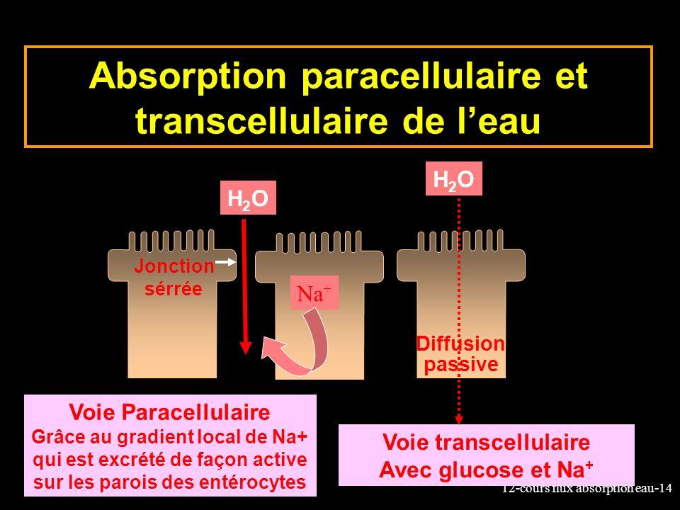 12-cours flux absorption eau-14 Absorption paracellulaire et transcellulaire de leau Jonction sérrée Voie transcellulaire Avec glucose et Na + Diffusi