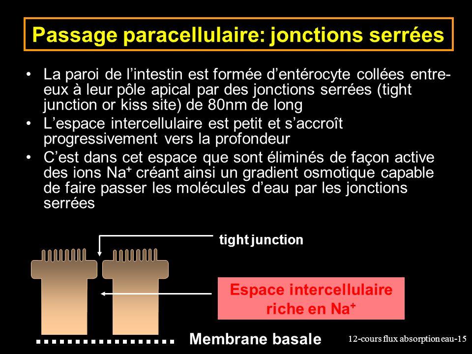 12-cours flux absorption eau-15 Passage paracellulaire: jonctions serrées La paroi de lintestin est formée dentérocyte collées entre- eux à leur pôle