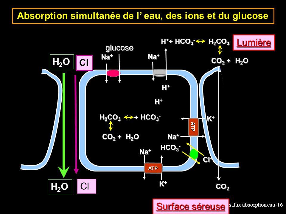 12-cours flux absorption eau-16 Absorption simultanée de l eau, des ions et du glucose Cl K+K+K+K+ ATP Na + Lumière Surface séreuse glucose Na + K+K+K