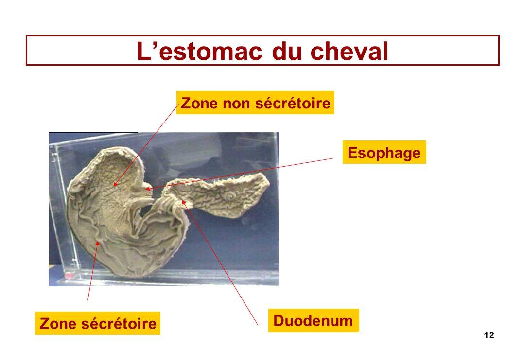 12 Lestomac du cheval Duodenum Esophage Zone non sécrétoire Zone sécrétoire