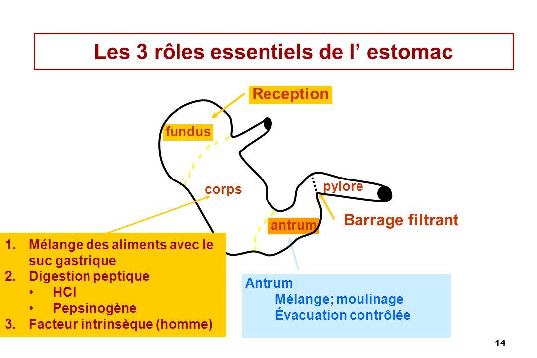 14 Les 3 rôles essentiels de l estomac fundus corps antrum Reception pylore Antrum Mélange; moulinage Évacuation contrôlée Barrage filtrant 1.Mélange
