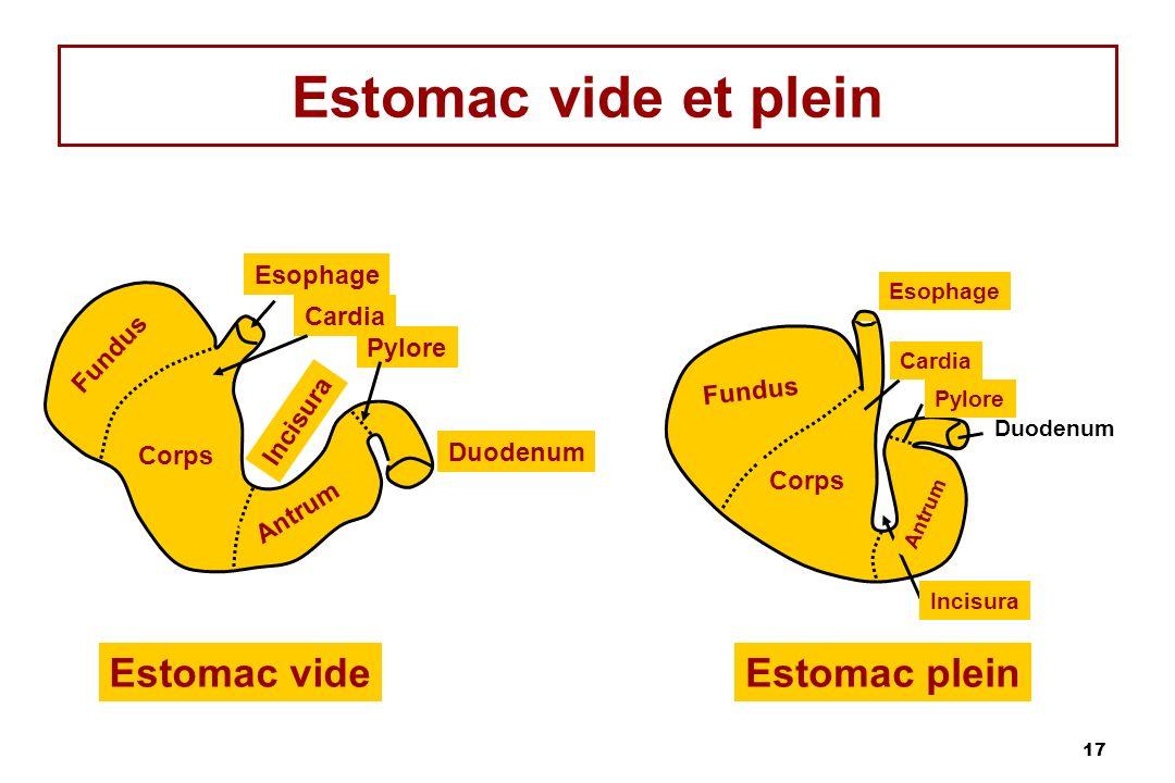 17 Estomac vide et plein Esophage Cardia Pylore Duodenum Incisura Antrum Corps Fundus Estomac vide Corps Antrum Incisura Estomac plein Duodenum Fundus