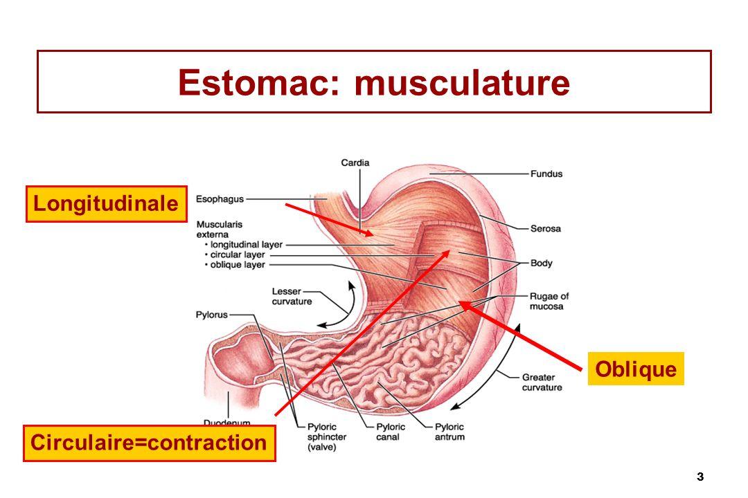 3 Estomac: musculature Longitudinale Circulaire=contraction Oblique