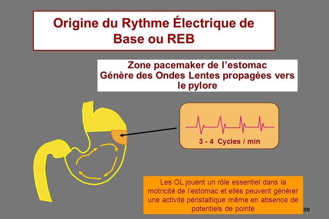 30 Origine du Rythme Électrique de Base ou REB 3 - 4 Cycles / min Zone pacemaker de lestomac Génère des Ondes Lentes propagées vers le pylore Les OL j