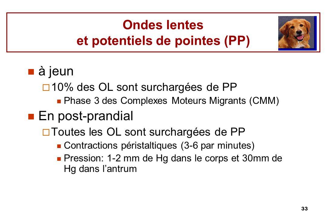 33 Ondes lentes et potentiels de pointes (PP) à jeun 10% des OL sont surchargées de PP Phase 3 des Complexes Moteurs Migrants (CMM) En post-prandial T