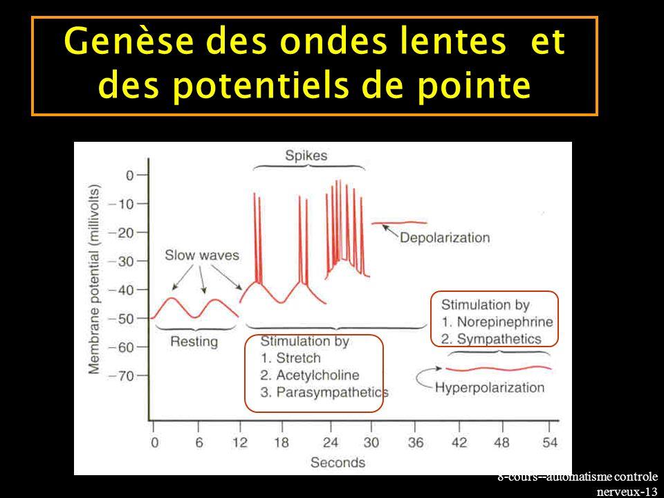 8-cours--automatisme controle nerveux-13 Genèse des ondes lentes et des potentiels de pointe