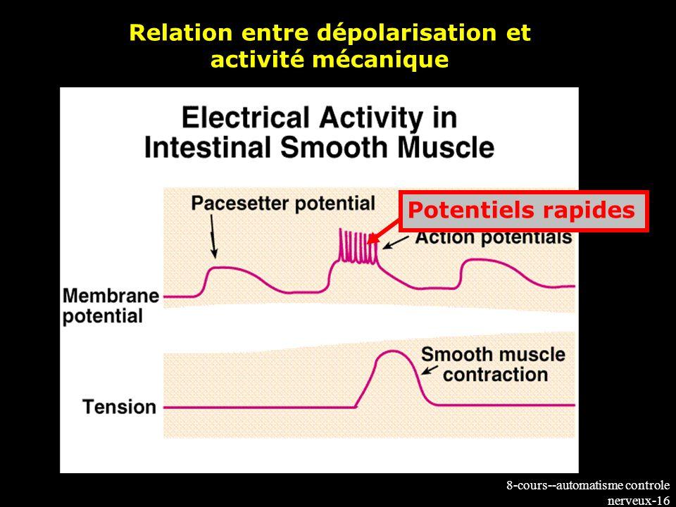 8-cours--automatisme controle nerveux-16 Potentiels rapides Relation entre dépolarisation et activité mécanique