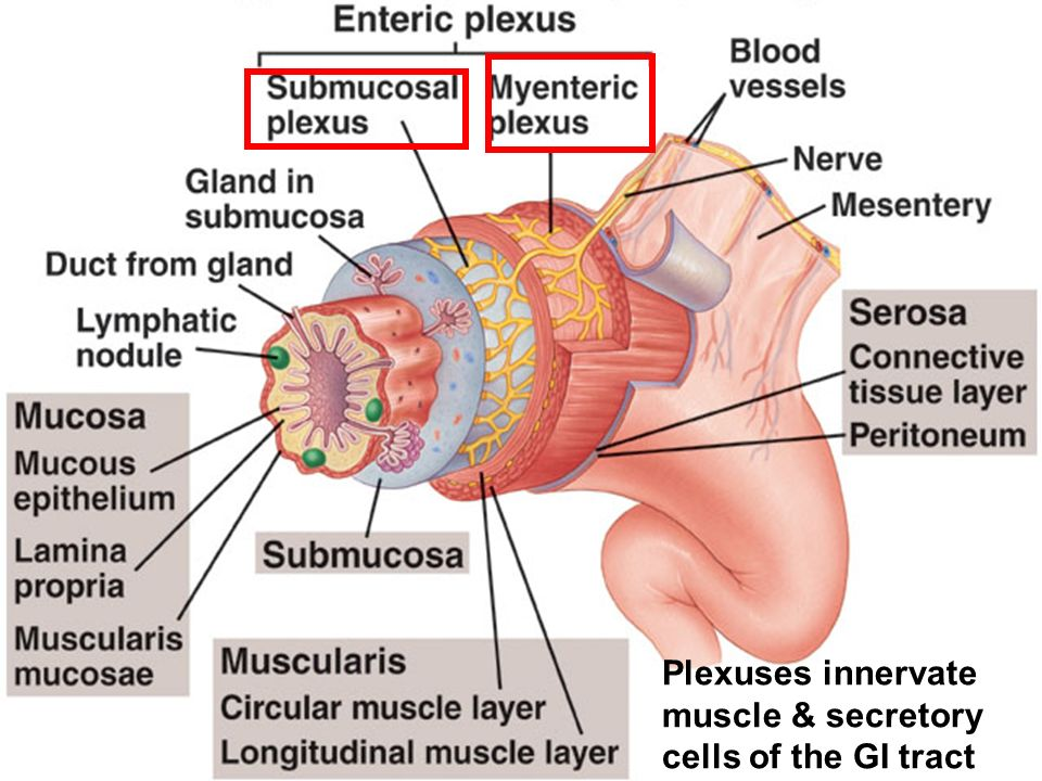 8-cours--automatisme controle nerveux-28 Plexuses innervate muscle & secretory cells of the GI tract